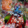 Colorful mantis shrimp puzzle